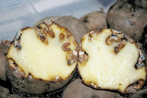 Пораженный картофель