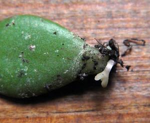 Размножение листком