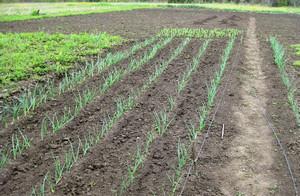 Выращивание севка