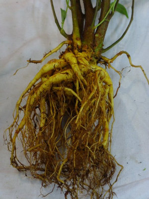Гниль корней