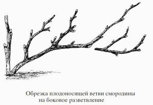 Обрезка плодоносящих ветвей