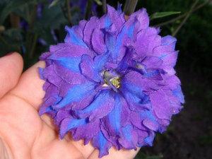 Размер и окраска цветка