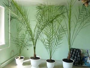 Самостоятельно выращенные пальмы