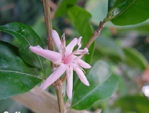 Сорт Робуста с розовыми цветами