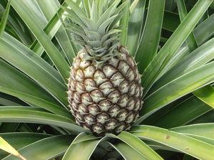 Созревающий плод