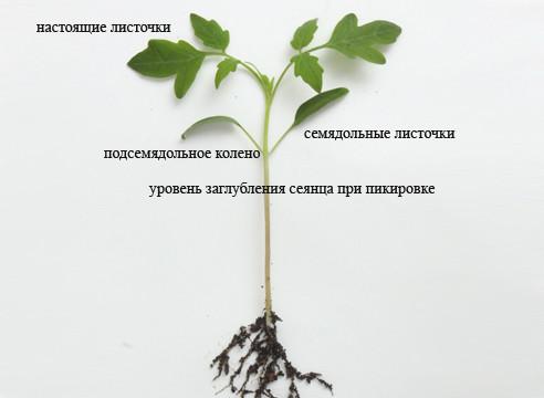 Строение сеянца