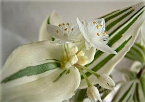 Зебрина белоцветковая
