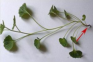 Посадка и уход за цветком кампанулы махровой и Портеншлага в домашних условиях