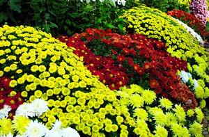 Выращивание, размножение и уход за шаровидными хризантемами