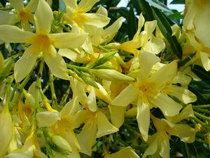 Олеандр желтый видовой