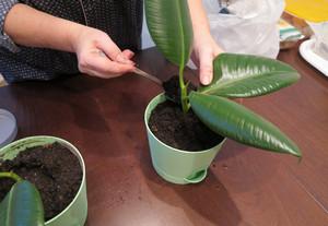 Пересадка молодых растений