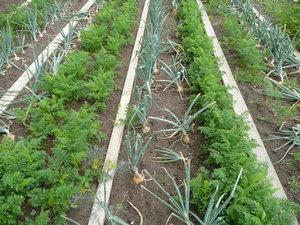 Совместное выращивание с луком