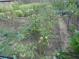 Томат Розовый мед в огороде