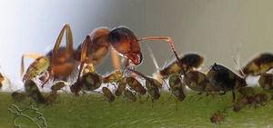 Муравьи разносят тлю
