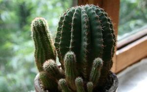 Домашний кактус