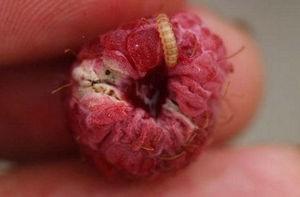 Личинка малиновой мухи
