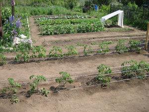 Перец в огороде