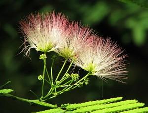 Цветок ленкоранской акации