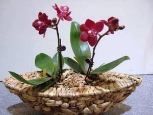 Міні орхідеї догляд в домашніх умовах