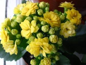 Каландива махровый желтый