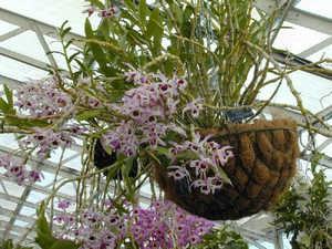 Выращивание, уход и размножение орхидеи дендробиум нобиле