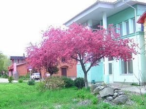 Яблоня Недзвецкого у дома