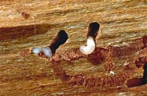 Личинки короеды