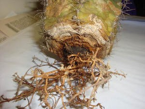 Крупные корни после промывания