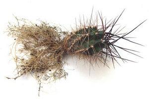 Очищенные корни