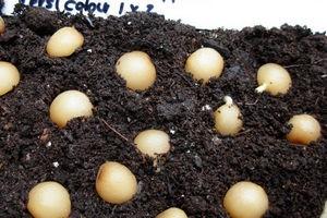 Выращивание, размножение и уход за кливией в домашних условиях