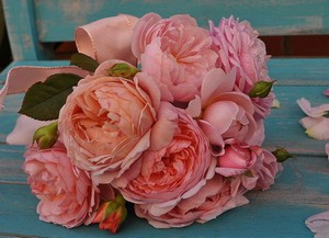 Популярные сорта и выращивание пионовидных роз