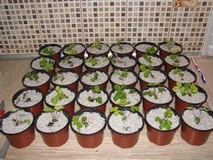 Выращивание дома на перлите