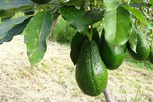 Авокадо виростити вдома