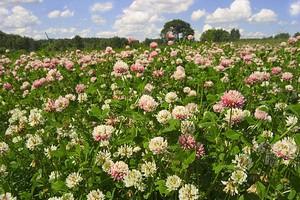 Клевер с розовыми цветами