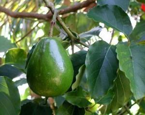 Авокадо вырастить дома