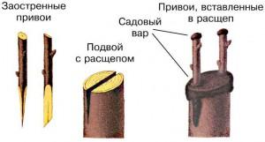 Схема прививки