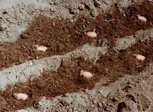 Удобрение под картофель