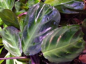 Биколор с фиолетовыми стеблями