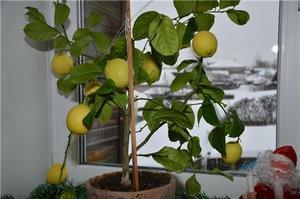 Лимон Павловского