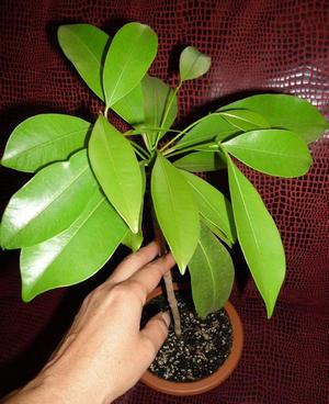 Растение из косточки