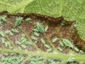 Выращивание, уход и размножение сенполии в домашних условиях