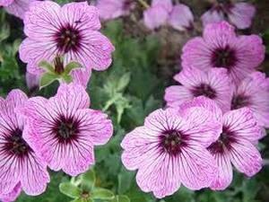 Цветки герани лесной