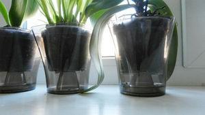 Орхидеи полив
