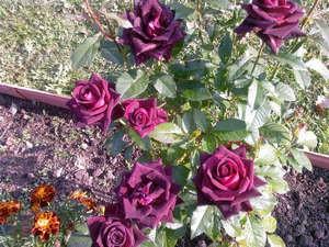 Роза из букета, привитая на шиповник