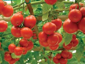 Кисти помидоров