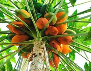Как выглядит папайя