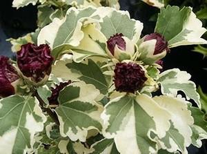 Садовый Purpureus variegatus