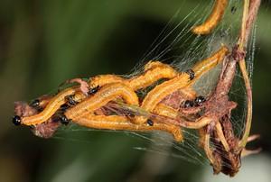 Грушевый пилильщик личинки
